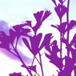 """Ginkgo Purple"" by shindigenometry"
