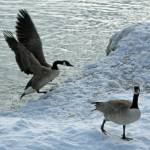 """Canada Geese"" by PatriciaHeise"