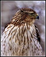 Portrait of A Cooper`s Hawk.