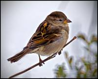 Female House Sparrow on a Very  Small Branch.