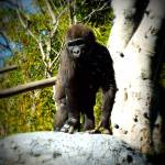 """Baby Gorilla"" by expressionsbytricia"