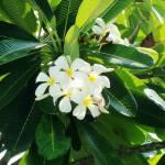 """Frangipani flowers"" by TRexSwan"