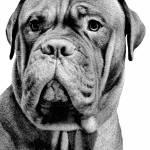 """French Mastiff"" by patsphotos"