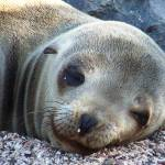 """Sea Lion Close Up"" by KatieJacobson-Lang"