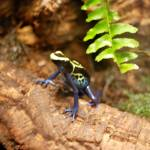"""blue and yellow frog"" by imagineit"