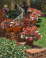 California Impatiens