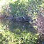 """Walden Pond - Great Blue Heron"" by halobelle"