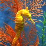 """Yellow Seahorse"" by CathK"