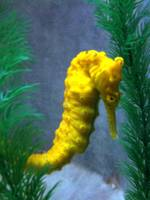 Lonesome Seahorse