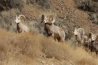 Big Horn Sheep #3