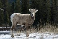 Big Horn Sheep #1