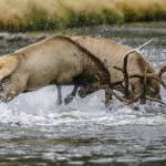 """""""Battle of the Bull Elk"""" by PronghornPix"""