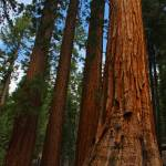"""Bachelor and Three Graces, Sequoias"" by jaredwcarter"