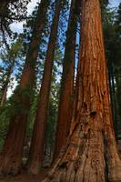 Bachelor and Three Graces, Sequoias