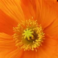 """Orange poppy flower close up"" by Morgan Howarth"
