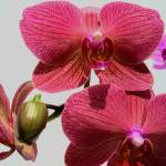 """Orchid.3"" by Wizz2012"