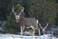 Two Mule Deer Bucks