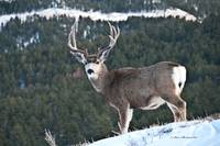 Mule Deer Buck Horizonal View