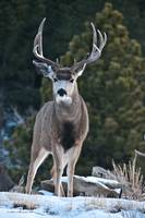 Mule Deer 2 Buck verticle view