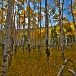 """COLORADO ASPEN HDR"" by faf1967"