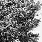 """Snowy Oak 7149"" by rayjacque"