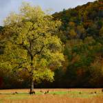"""Elk Herd Under Fall-Colored Oak"" by jaredwcarter"