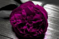 Fuschia Peony in Black and White