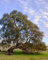 Red Gum, Blue Sky