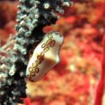"""IMG_7527-Flamingo Tongue"" by checkman"