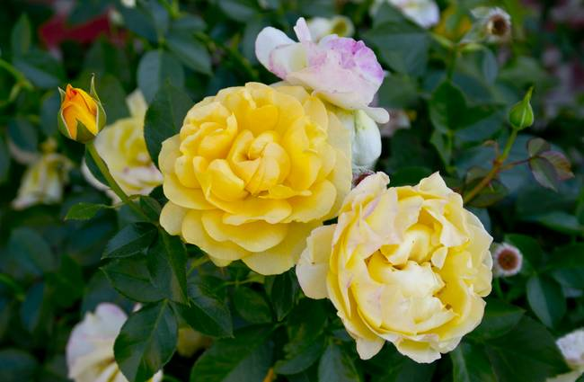 Yellow Double Knockout Roses By Elton Chu
