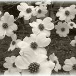 """Blossoms of a Dogwood"" by imagesbyjulie"