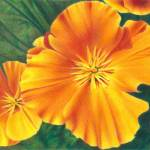 """California Poppy #2"" by denisejhowardart"