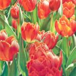 """Chorus of the Tulips"" by denisejhowardart"