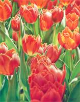 Chorus of the Tulips
