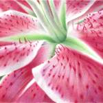 """The Intimate Stargazer Lily"" by denisejhowardart"