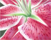 The Intimate Stargazer Lily