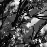 """""""Cherry Blossoms   0188 Black and White Edition"""" by BarbaraLin"""