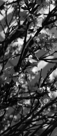 Cherry Blossoms   0188 Black and White Edition
