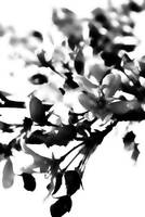 Apple Blossoms        0192 Black Ink Edition
