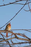 Cardinal Against The Sky