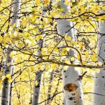 """Autumn Aspen"" by JBentley"