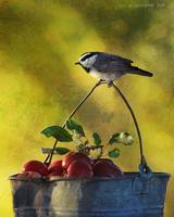 apple bucket / mountain chicadee
