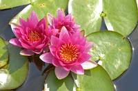 Trio of deep pink water lilies