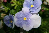 Pansy's Delight
