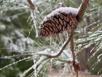 Snow In The Pines