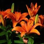 """Orange Lilies"" by csjones"
