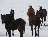 Yearlings In Snow