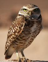 Burrowing Owl_GF