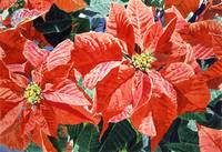 POINSETTIA MAGIC
