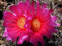 Candy Barrel Cactus